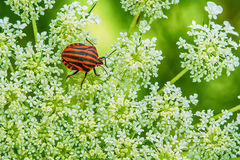 Red and black striped stink bugs on a flower Royalty Free Stock Photography