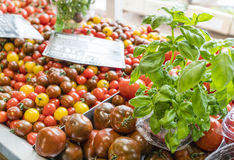 Red and black tomatoes with basil royalty free stock photo