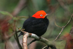 Red & black tropical bird of Belize Royalty Free Stock Images