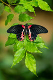 Red and black tropical butterfly resting on the branch Royalty Free Stock Images