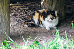 Red, black and white cat in a countryside. A tricolor cat sitting on the ground. Calico lady cat with yellow eyes. Royalty Free Stock Images
