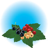Red, black & white currant Royalty Free Stock Photo