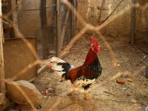 Red Black and White Hen Inside Chain Link Fence Stock Images