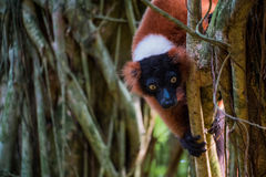 Red, black and white lemur hagning from a tree. A red ruffed lemur with yellow eyes hanging from a tree Royalty Free Stock Photography