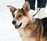 Red, black and white mongrel dog sitting on snow Royalty Free Stock Photos