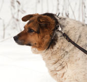 Red, black and white mongrel dog standing on snow Stock Photography