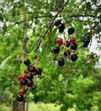Red and black wild cherries hanging onto the delicate drops of rain stock photo