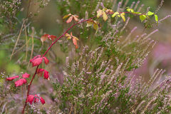 Red blackberry bush in autumn royalty free stock image