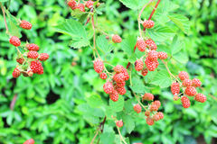 Red Blackberry Royalty Free Stock Photos