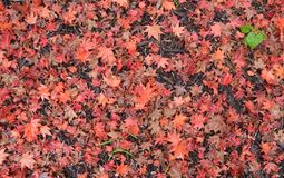 Fallen Red Maple Leaves. A red blanket for fallen leaves under an ornamental Japanese red maple tree in autumn royalty free stock images