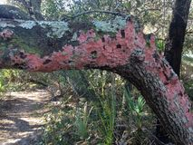 Red Blanket Lichen Royalty Free Stock Photo