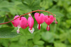 Red bleeding hearts Dicentra Royalty Free Stock Photography