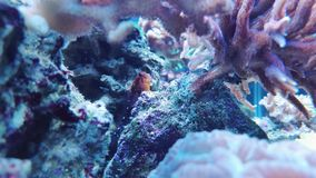 Red blenny Royalty Free Stock Photo