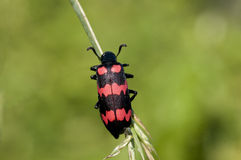 Red Blister Beetle. A Red blister beetle basking in the sun Stock Image