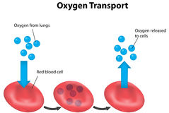 Red Blood Cell Cycle Respiration Labeled Stock Photos