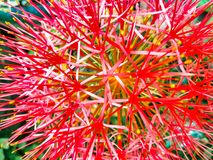 Red Blood lily flower blooming stock photos