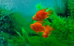 Red Blood Parrot Cichlid in aquarium plant green background. Funny orange colourful fish - hobby concept stock photos