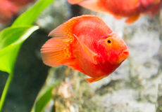 Red blood parrot fish Royalty Free Stock Photo