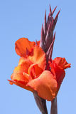 Red Bloom. This image shows a macro from a Canna indica royalty free stock photos