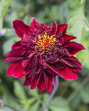 Red Bloom. A red flower blooming in a garden stock photography