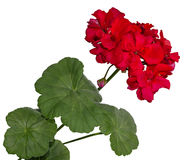 The red bloom from a geranium with leaves Royalty Free Stock Image