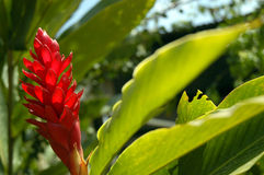 Red bloom Guatemala Royalty Free Stock Images