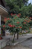 Red bloom and leaves of Trumpet creeper or Campsis radicans tree in street, town Delchevo, Macedonia stock image