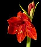 Red Blooming Amaryllis Stock Photo