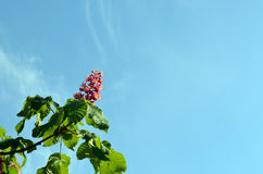 Red blooming beautiful conker trees on blue sky Royalty Free Stock Images