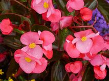 Red blooming Begonia Stock Photography