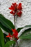 Red blooming Canna Indica. The red blooms of a Canna indica  and green leaves against a wall in Madeira Royalty Free Stock Images