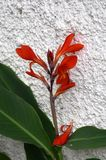 Red blooming Canna Indica. The red blooms of a Canna indica  and green leaves against a wall in Madeira Stock Photo