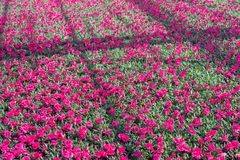 Red blooming clove pinks in a specialized plant  nursery. Closeup of red blooming clove pinks in a specialized Dutch plant  nursery on a sunny day in the spring Stock Image