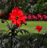 Red Blooming Dahlia With a Green Background Royalty Free Stock Photos