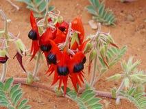 Red blooming desert flower Royalty Free Stock Photos