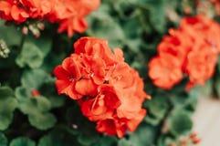 Red blooming flower in macro. Flora. Closeup Stock Image