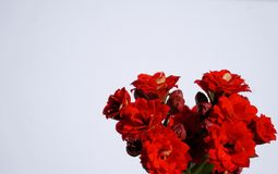 Red flowers on white background. Royalty Free Stock Image