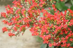 Red blooming flowers,kalanchoe flowers stock photo