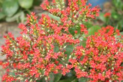 Red blooming flowers,kalanchoe flowers royalty free stock photography