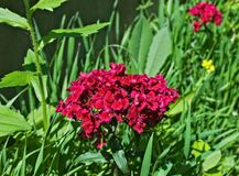 Red blooming flowers in my garden close up Royalty Free Stock Images