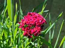 Red blooming flowers in my garden close up Stock Photography