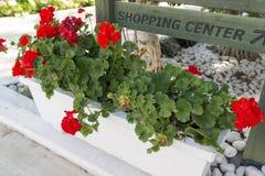 Red blooming geranium in flowerpot Stock Images