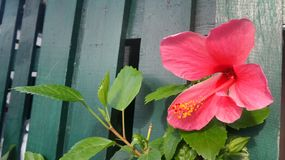 Red blooming Hibiscus flower on green fence background Royalty Free Stock Image