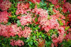 Red Ixora Flower Royalty Free Stock Photo