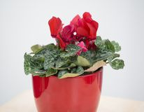 Red blooming Lathyrus,peavines or vetchlings flowe in red flowerpot on white background.  stock photo