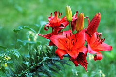 Red  blooming lily flowers Lilium Stock Images