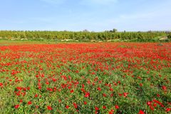 Red Blooming Meadow Landscape Stock Photography