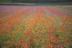 Red blooming  in Piano Grande of Castelluccio di Norcia, Monti S Royalty Free Stock Photos