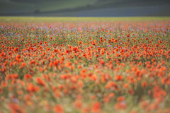 Red blooming  in Piano Grande of Castelluccio di Norcia, Monti S Stock Images