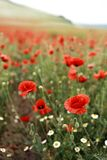Red blooming poppies in the spring field royalty free stock photography